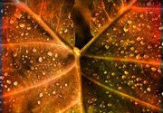 Autumn Leaf On Water Metal Prints - Dew drops Metal Print by Susanne Van Hulst