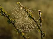 Arachnids Prints - Dew Highlights An Orb-weaver Spiders Print by Mattias Klum