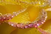 Frame-ups Posters - Dew On Flower Petals Poster by Craig Tuttle