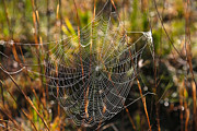 Spider Web Framed Prints - Dewdrop Web Framed Print by Carol Groenen