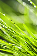 Water Drop Photos - Dewy green grass  by Elena Elisseeva