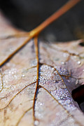 Fallen Leaf Photo Posters - Dewy leaf Poster by Elena Elisseeva