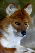 Wild Dog Framed Prints - Dhole  Framed Print by Julie L Hoddinott