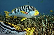 Lined Posters - Diagonal Banded Sweet Lips In Great Barrier Reef Poster by James R.D. Scott