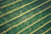 Vineyards Photo Originals - Diagonal Lines by Franco Franceschi