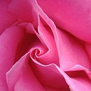 Pink Rose Prints - Diagonal of Rose Print by Jacqueline Migell