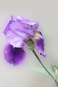 Color Purple Posters - Diagonal Purple Iris 1 Poster by Linda Phelps