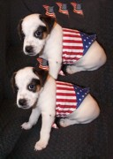 Black And White Jack Russell Terrier Puppies Photos - Diamond Duke Celebrating the Fourth of July by Linda Parker