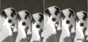 Black And White Jack Russell Terrier Puppies Photos - Diamond Duke by Linda Parker