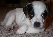 Black And White Jack Russell Terrier Puppies Photos - Diamond Duke The Adventurer by Linda Parker