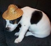 Black And White Jack Russell Terrier Puppies Photos - Diamond Duke the Little Jack by Linda Parker
