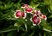 Williams Photos - Dianthus barbatus by Barbara  White