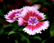 Pink Flower Prints Posters - Dianthus Poster by Rona Black