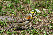 Florida Nature Photography Originals - Dickcissel by Barbara Bowen