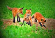 Fox Photos - Did You See That by Emily Stauring