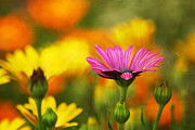 Multicolored Daisy Prints - Different Print by Darren Fisher