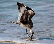 Shore Birds Photos - Digging For Dinner by Adam Jewell