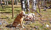 Golden Settings Pet Photography Photos - Digging up Bones by Kara Kincade