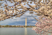 White Digital Art Posters - Digital Liquid - Cherry Blossoms Washington DC 4 Poster by Metro DC Photography