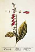 Digitalis Framed Prints - Digitalis Plant, 18th Century Framed Print by 