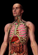 Human Internal Organ Art - Digitally Generated Image Of Inner Human Organs by Calysta Images