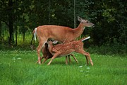 Nursing Deer Framed Prints - Dinner For Two Framed Print by Jamie Rabold