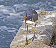 Tricolored Heron Posters - Dinner Time Poster by Kenneth Albin