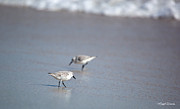 Sandpipers Prints - Dinner Time Sandpipers Feeding Delray Beach Florida Print by Michelle Wiarda