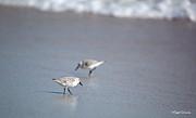 Michelle Wiarda - Dinner Time Sandpipers Feeding Delray Beach Florida