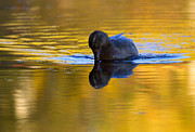 Waterfowl Metal Prints - Dipping in Gold Metal Print by Mike  Dawson