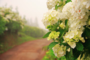Dirt Road Posters - Dirt road with hydrangeas Poster by Gaspar Avila