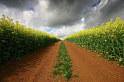 Rapeseed Photos - Dirt Track through red soil in a Rapeseed flower field by Mark Stokes