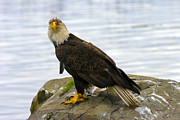 Sitka Photos - Dirty Bird by Mike  Dawson
