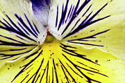 Connecticut Framed Prints - Dirty Pansy Framed Print by Jennifer Smith