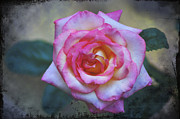 Rose - Dirty Pink Rose by Bill Cannon