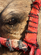 Camel Photos - Disappointment by Munir Alawi