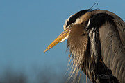Great Heron Prints - Disconcerted Print by Reflective Moments  Photography and Digital Art Images
