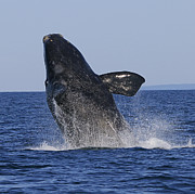 Right Whale Breach Photos - Discovering Another Dimension by Tony Beck