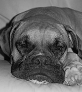 Boxer Dog Photo Framed Prints - Disturbing His Nap Framed Print by DigiArt Diaries by Vicky Browning
