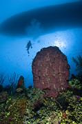 Diver And Barrel Sponge, Belize Print by Todd Winner