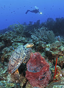 Hawksbill Sea Turtle Posters - Diver And Hawksbill Turtle On Caribbean Poster by Karen Doody