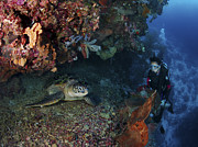 Marine Biology Prints - Diver And Sea Turtle, Manado, North Print by Mathieu Meur
