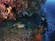 Diver And Sea Turtle, Manado, North Print by Mathieu Meur