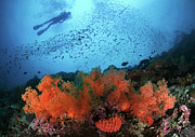 Animal Themes Prints - Diver And Soft Corals In Pescador Island Print by Nature, underwater and art photos. www.Narchuk.com