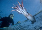 Capturing Prints - Diver Catching A Humboldt Squid Print by Louise Murray