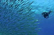 Swimming Fish Photos - Diver looking at juveniles barracuda schooling near surface by Sami Sarkis
