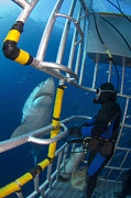 Risk Security Posters - Diver Observes A Male Great White Shark Poster by Todd Winner