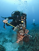 Scuba Photos - Diver Spears An Invasive Indo-pacific by Karen Doody