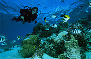 Damselfish Prints - Diver Swimming With Butterfly Fish Print by Tim Laman