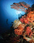 Echinoderm Photos - Diver Swims By A Soft Coral Reef by Todd Winner
